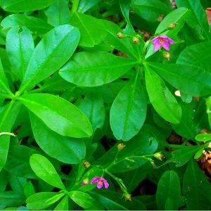 Water Leaf (1 Bunch)